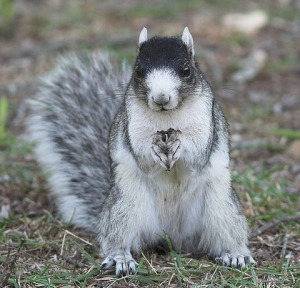 The Most Popular Animal in Georgia, the Fox Squirrel. This one is the particularly fashionable black cap variety. Photo source: Skipbro's photostream