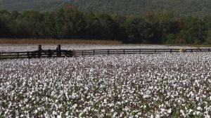 Floyd Co GA Ag and Farmland cotton field _CC