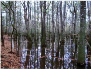 Bottomland along the Ohoopee