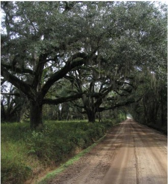 Live Oaks on the Sheffield Property