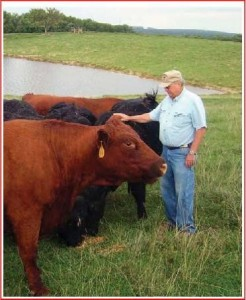 Jo Colmore with some of his Saler's Cattle