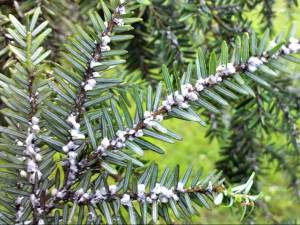 A Hemlock infested with Woolly Adelgid blight
